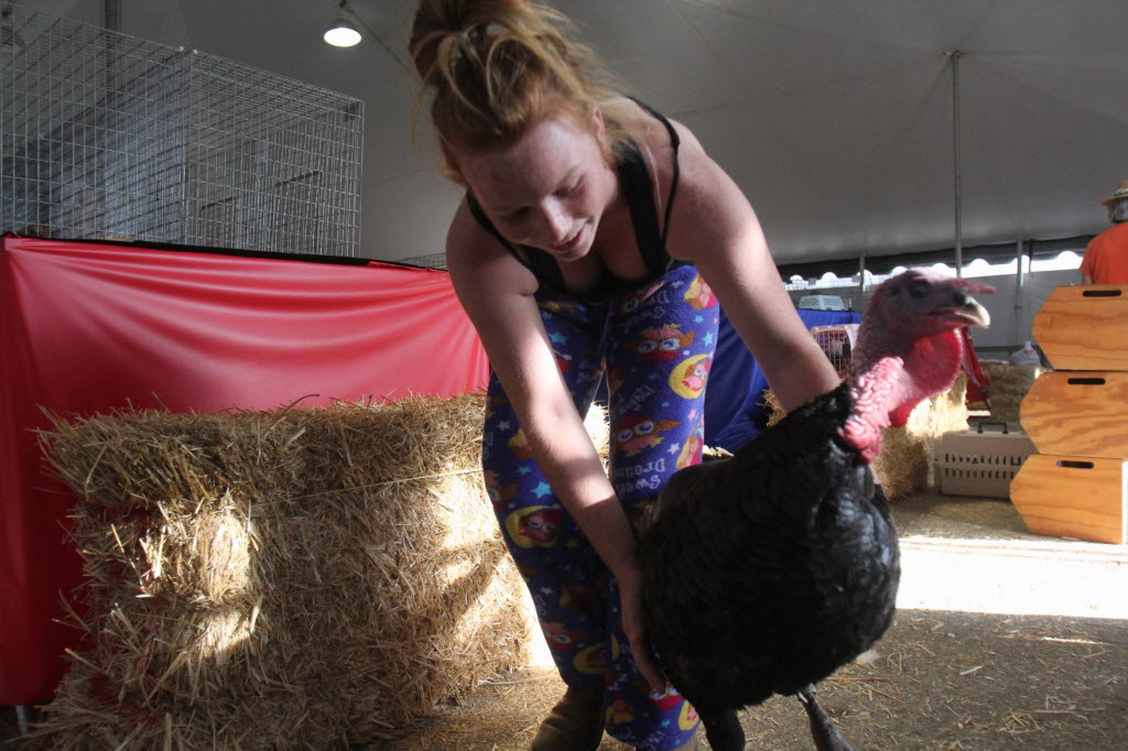 490297 bytes; 2592 x 1728; Jessica Oldenburg, 14, puts a turkey in a pen for a contest at the Southern California Fair in Perri
