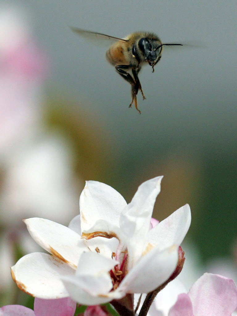 152335 bytes; 852 x 1136; A bee flies above a Ballerina Indian Hawthorn plant in early bloom as spring arrives early in Califo